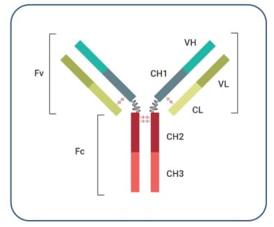 Fig. 1 Generalized Structure of an Antibody