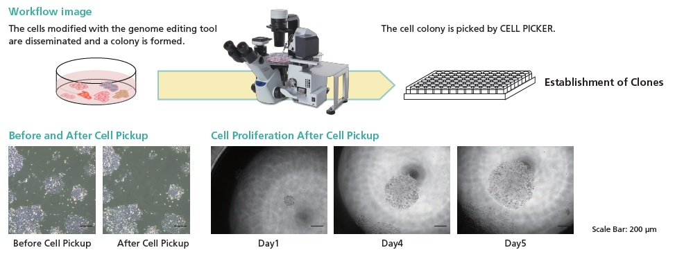 Cloning of Genome Edited Cells via the Cell Colony Separation Method